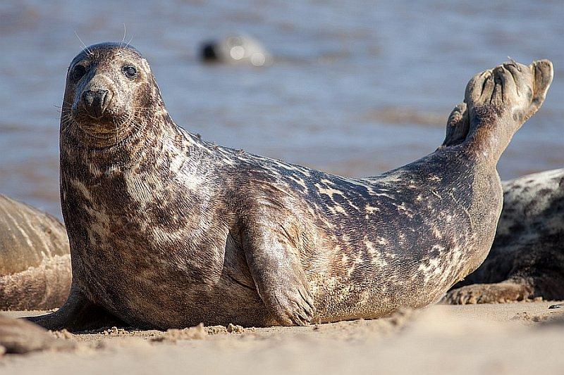 Gray Seal (Halichoerus grypus) on beach