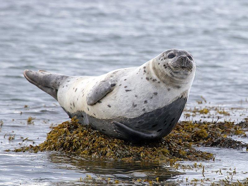 Harbor Seal (Phoca vitulina) on rock