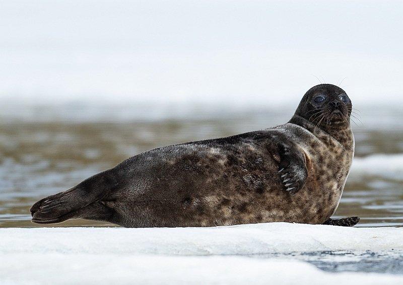 Ringed seal (Pusa hispida) on ice