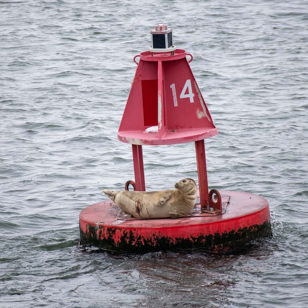 Harbor Seal with scares on belly sitting on buoy