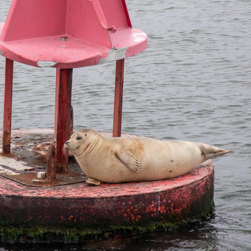 Harbor Seal on Buoy