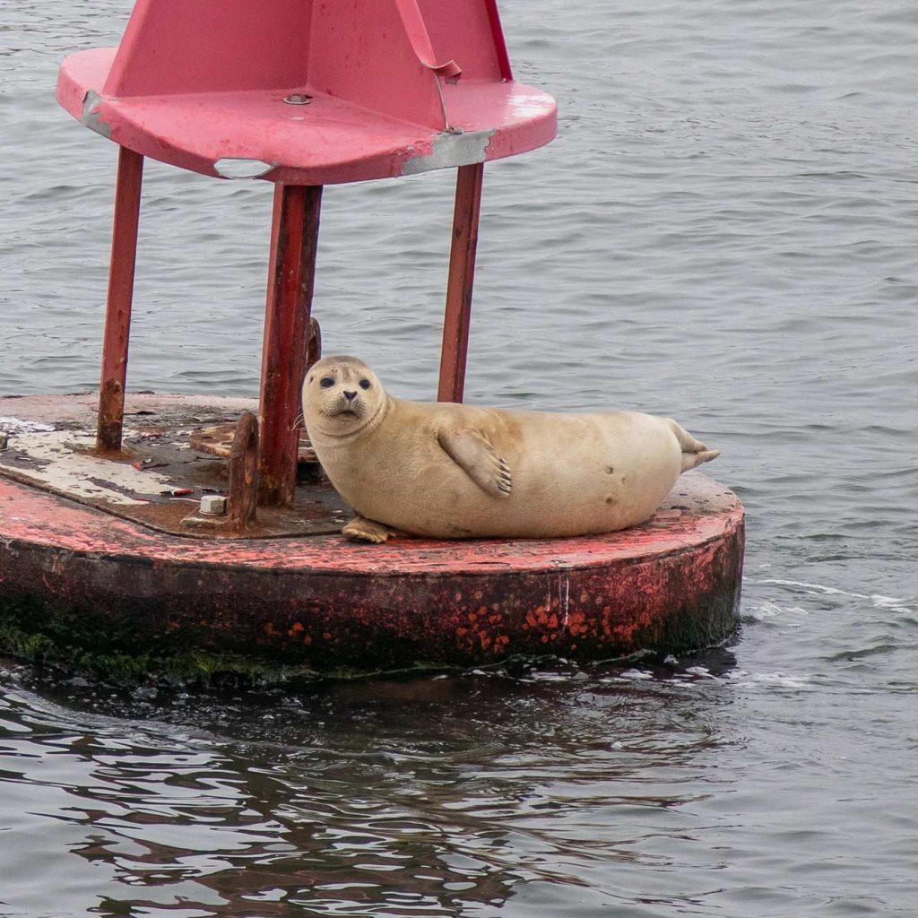 Harbor Seal on Buoy