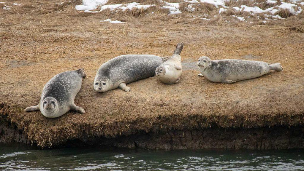 4 Harbor Seals Hauled out on the marsh of Freeport Bay