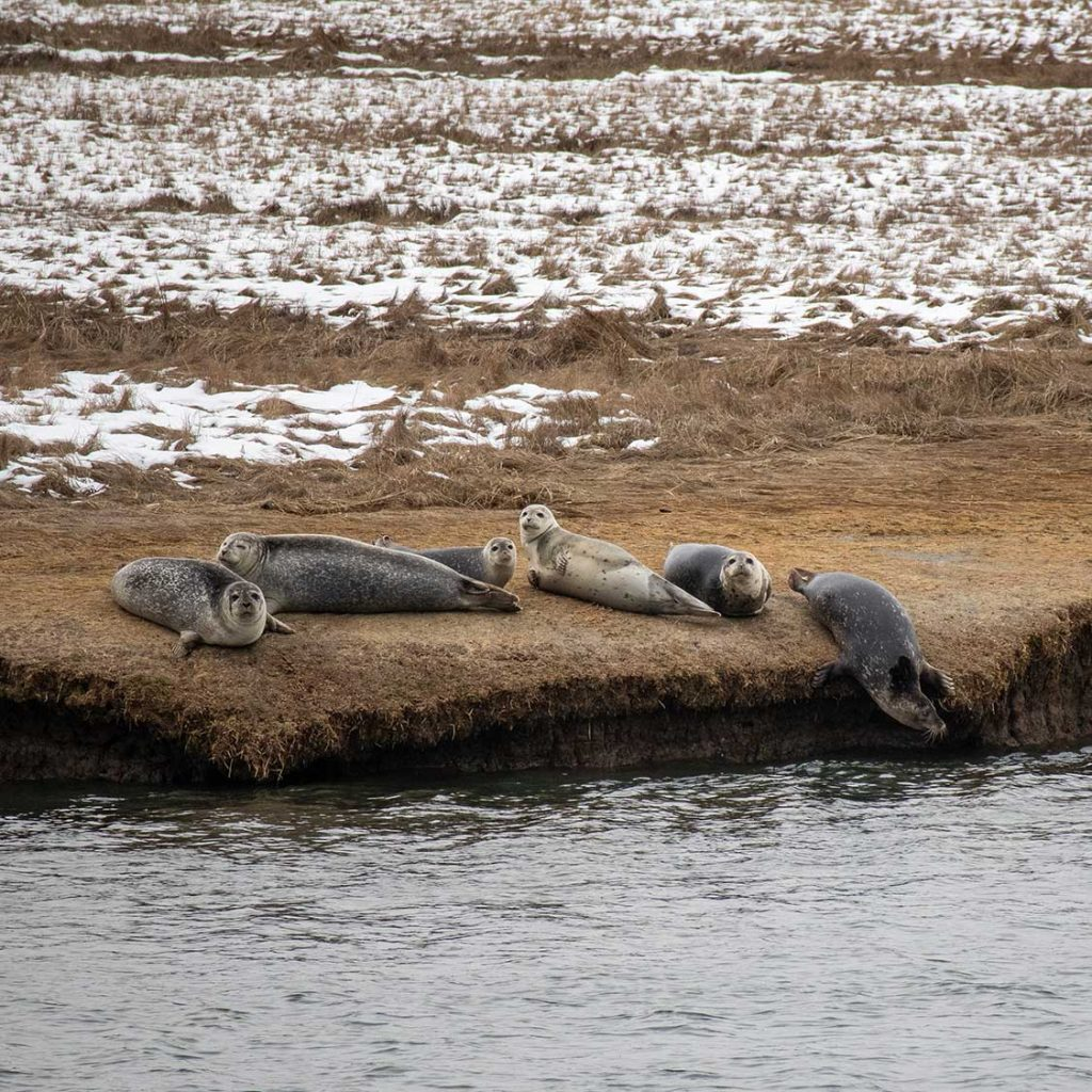 6 Harbor Seals hauled out on the marsh