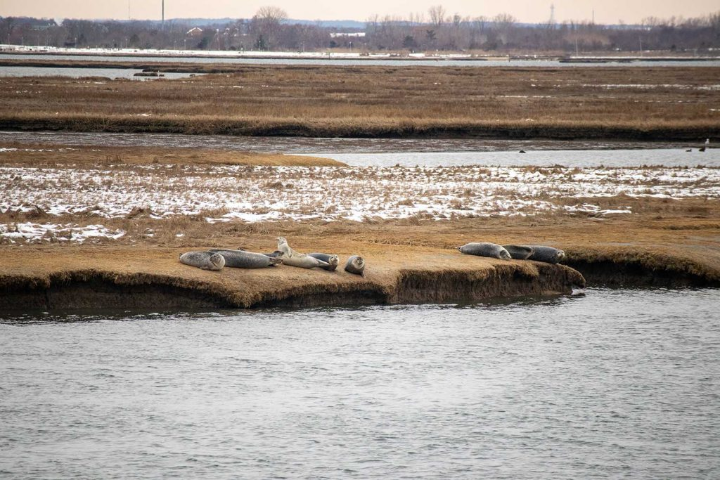 9 Harbor Seals Hauled out on the Marsh