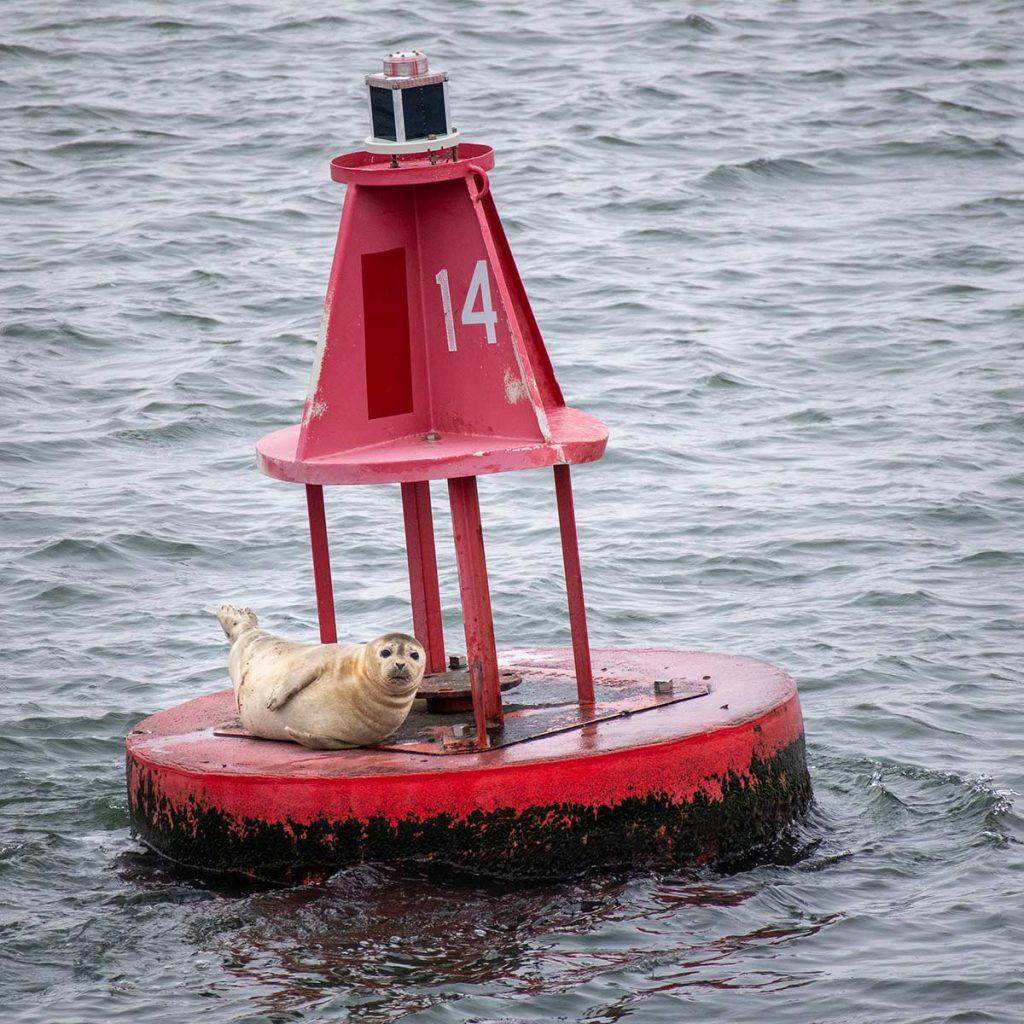 Cute Harbor Seal sitting on 14 buoy